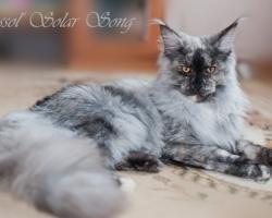 Кошка Мейн Кун