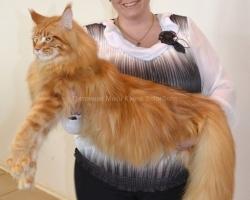 Кот Мейн Кун Моцарт