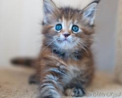 Котята Мейн Кун
