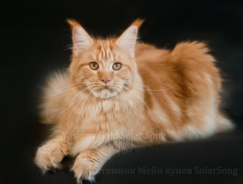 Мейн Кун Yashma Gold SolarSong