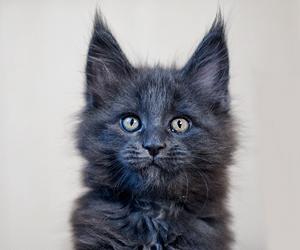 Кошка голубая 2.10.13