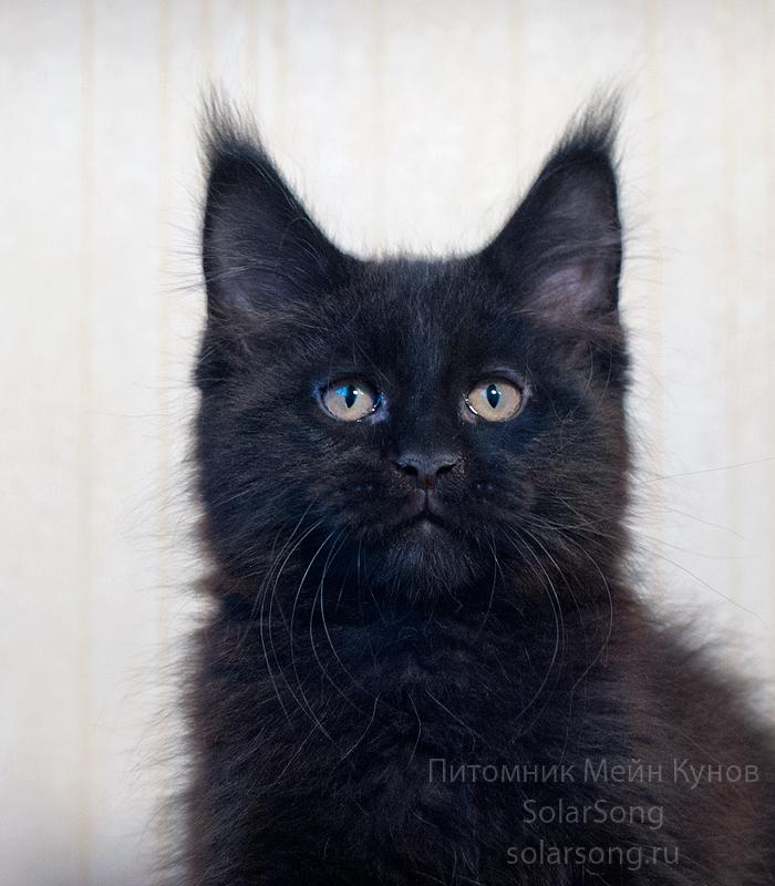 кот-чёрный-солид0