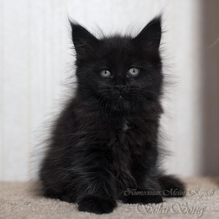 кошка-чёрн
