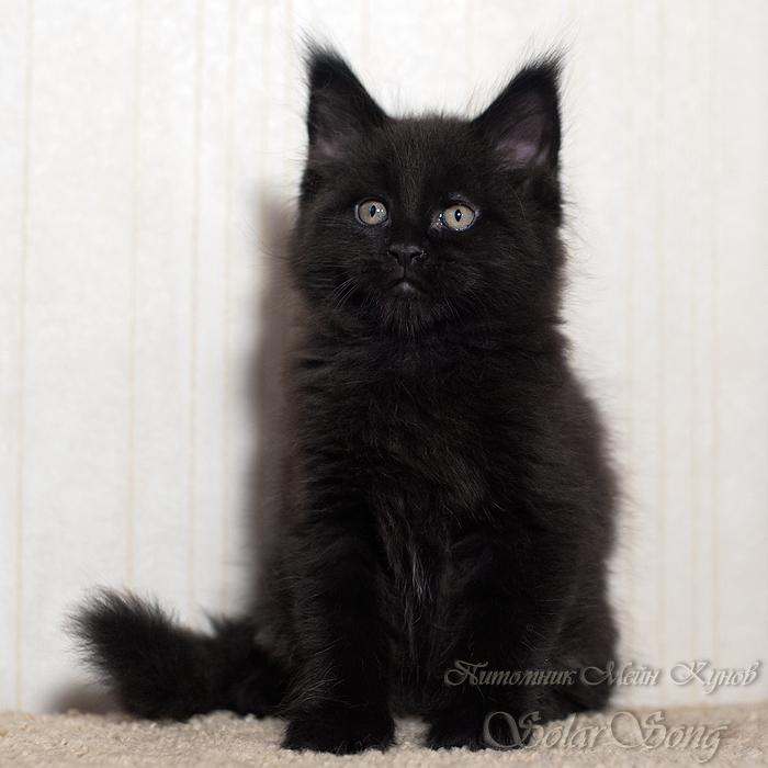 чёрн-кот