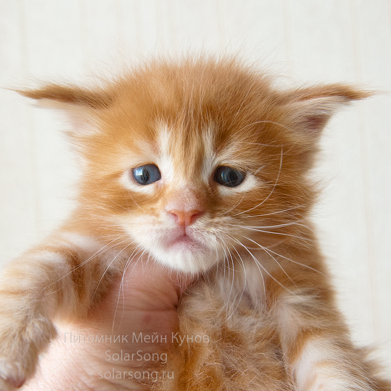 питомники мейн кунов в Москве,фото мейн кун,мейн кун цена котёнка,котёнок мейн-кун цена,мейнкун котята цена,мейн кун фото,мейн кун купить в Москве,мейн кун фото цена,сколько стоит мейн кун,купить мейн куна в Москве,кошка мейн кун цена,коты мейн кун цена,мейн кун фото,купить котёнка мейн кун,мейн кун котята фото