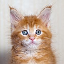 котята мейн кун купить